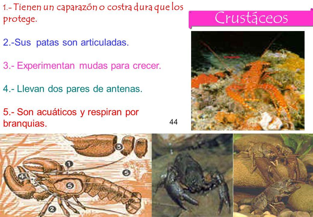 Crustáceos 2.-Sus patas son articuladas.