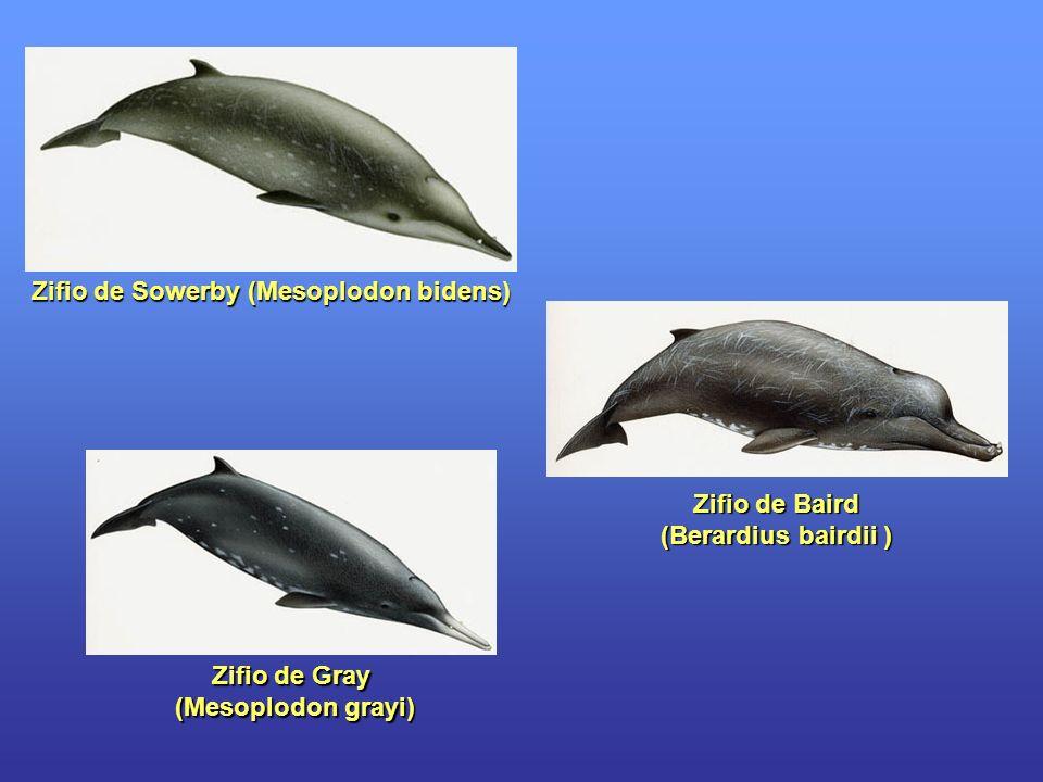 Zifio de Sowerby (Mesoplodon bidens)