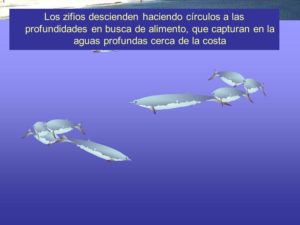 Los zifios descienden haciendo círculos a las profundidades en busca de alimento, que capturan en la aguas profundas cerca de la costa