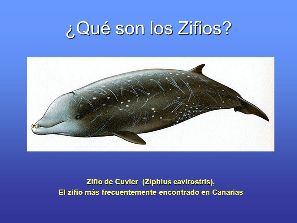 ¿Qué son los Zifios Zifio de Cuvier (Ziphius cavirostris),