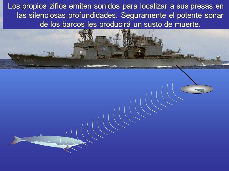 Los propios zifios emiten sonidos para localizar a sus presas en las silenciosas profundidades. Seguramente el potente sonar de los barcos les producirá un susto de muerte.