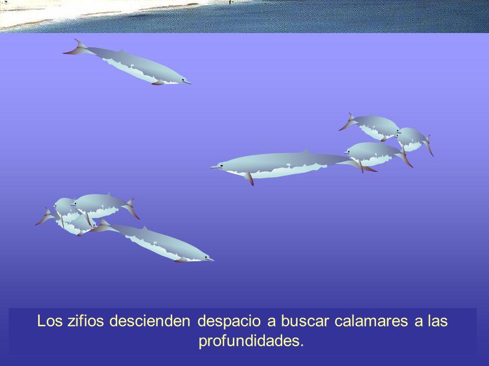 Los zifios descienden despacio a buscar calamares a las profundidades.