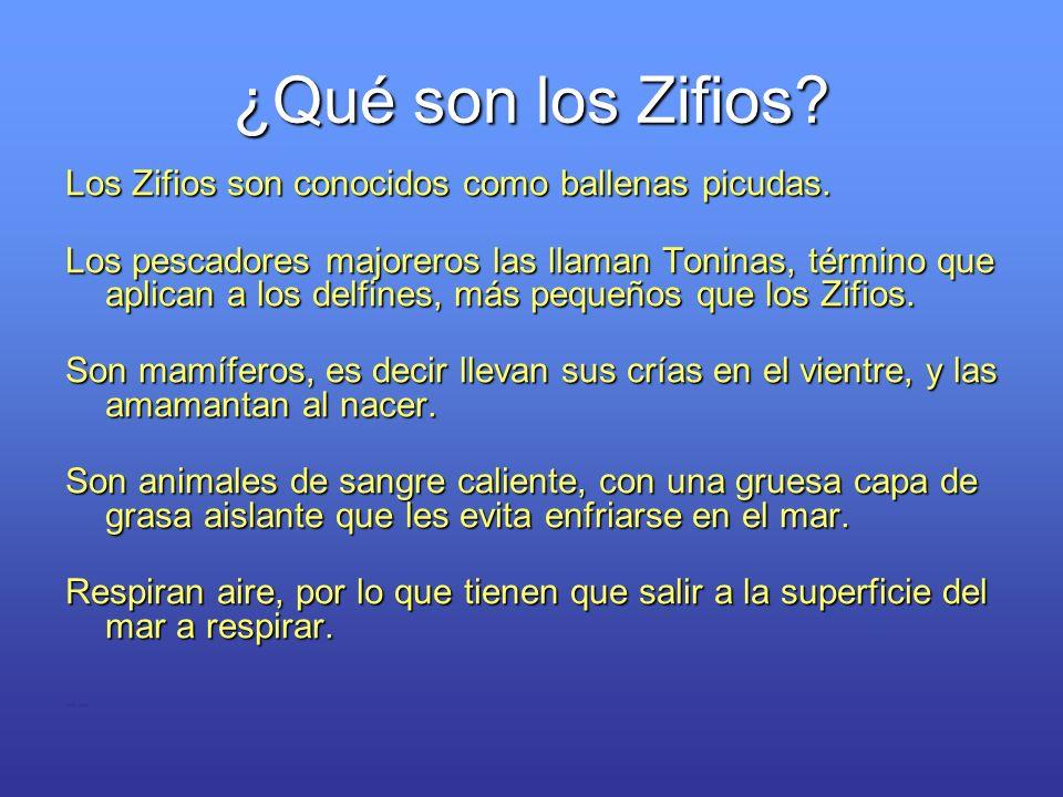 ¿Qué son los Zifios Los Zifios son conocidos como ballenas picudas.