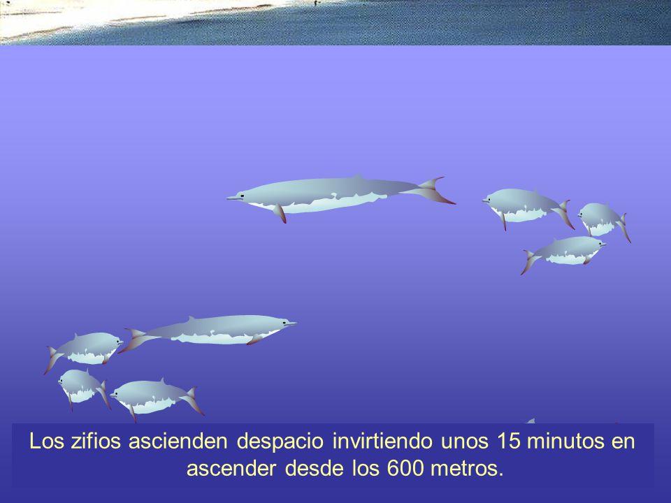 Una vez que el zifio ha saciado su apetito de calamares, debe ascender a respirar. Esto lo hace normalmente despacio, invirtiendo tal vez 15 minutos en subir desde los 100 metros de profundidad.