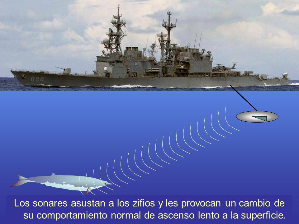 En el caso de los zifios atrapados en la zona de las maniobras militares, los sonares de potencia monstruosa seguramente los asustan y les provocan un cambio de su comportamiento normal de ascenso lento a la superficie.