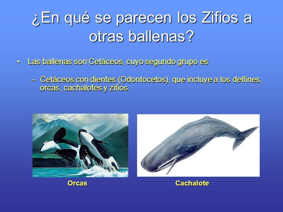 ¿En qué se parecen los Zifios a otras ballenas