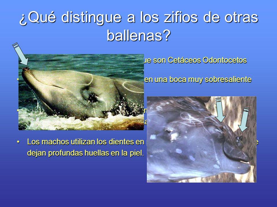 ¿Qué distingue a los zifios de otras ballenas