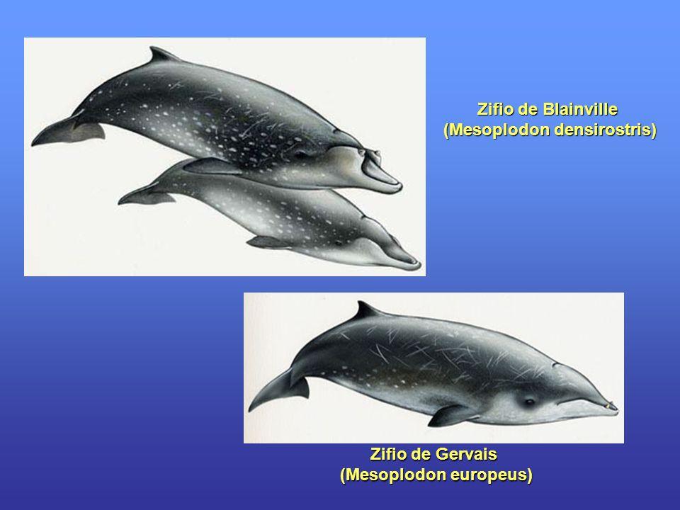 (Mesoplodon densirostris) (Mesoplodon europeus)