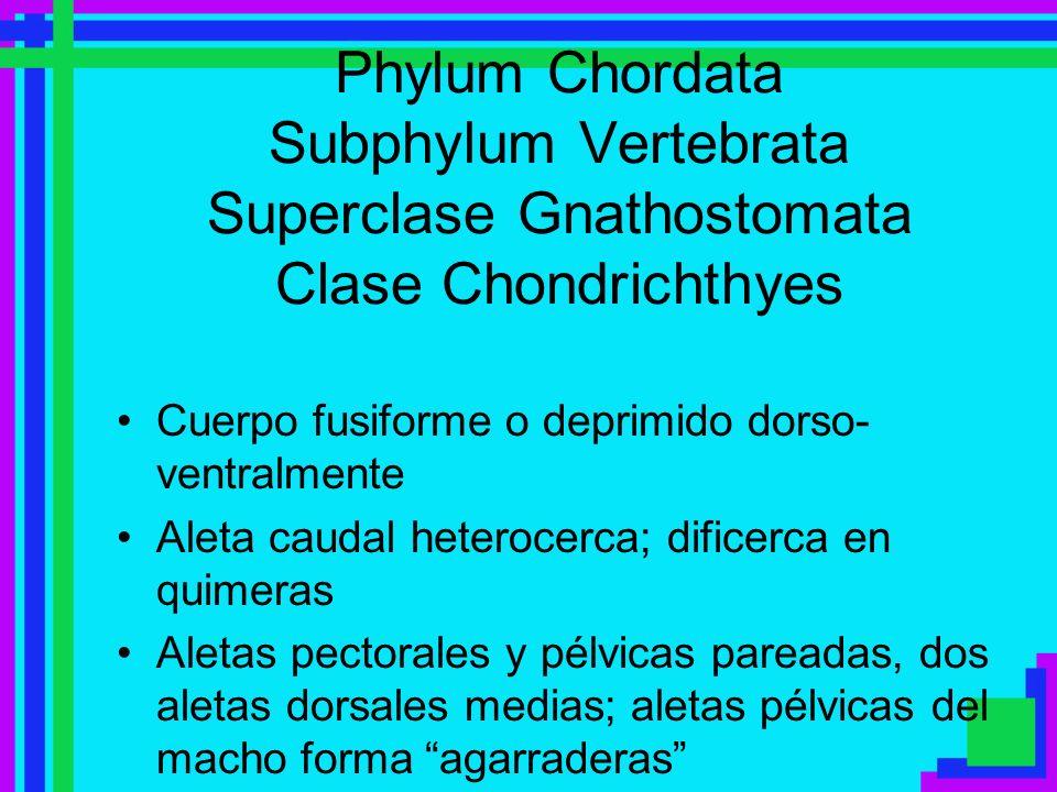 Phylum Chordata Subphylum Vertebrata Superclase Gnathostomata Clase Chondrichthyes