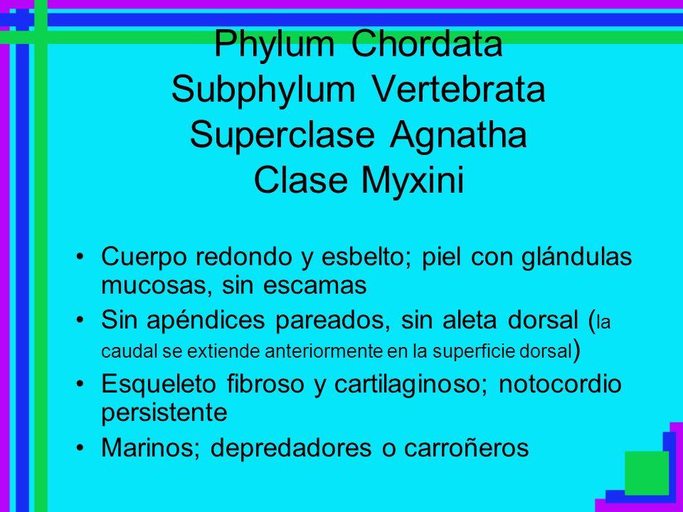 Phylum Chordata Subphylum Vertebrata Superclase Agnatha Clase Myxini
