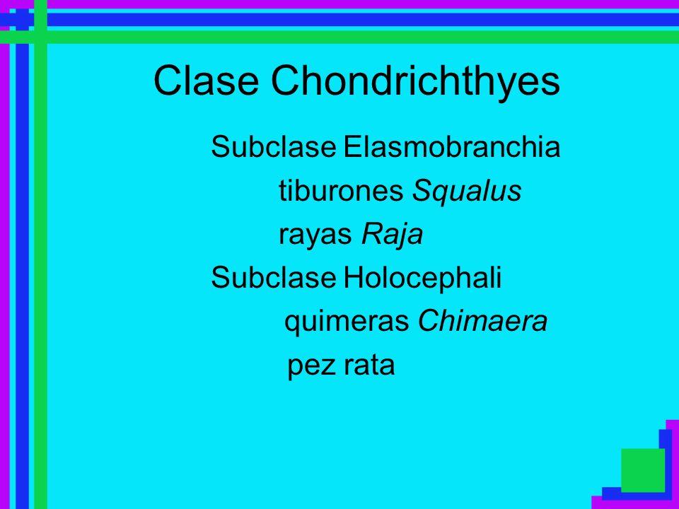 Clase Chondrichthyes Subclase Elasmobranchia tiburones Squalus