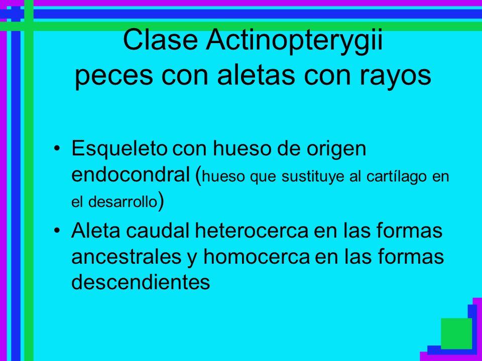 Clase Actinopterygii peces con aletas con rayos