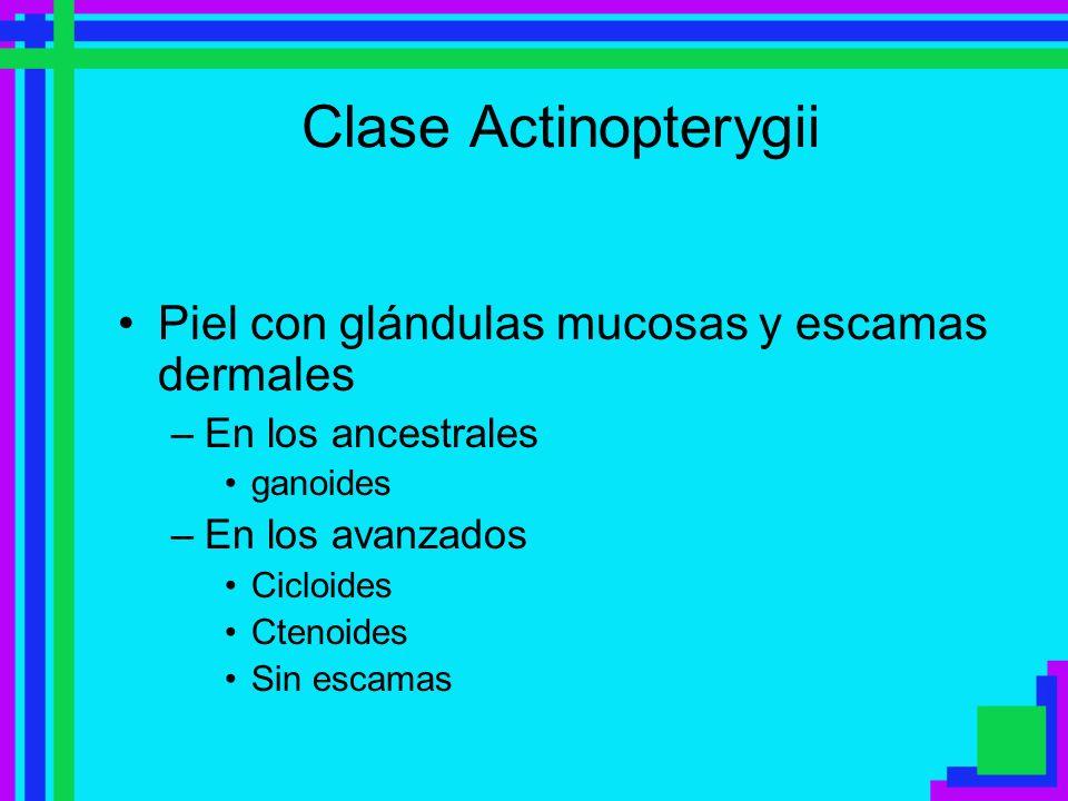 Clase Actinopterygii Piel con glándulas mucosas y escamas dermales