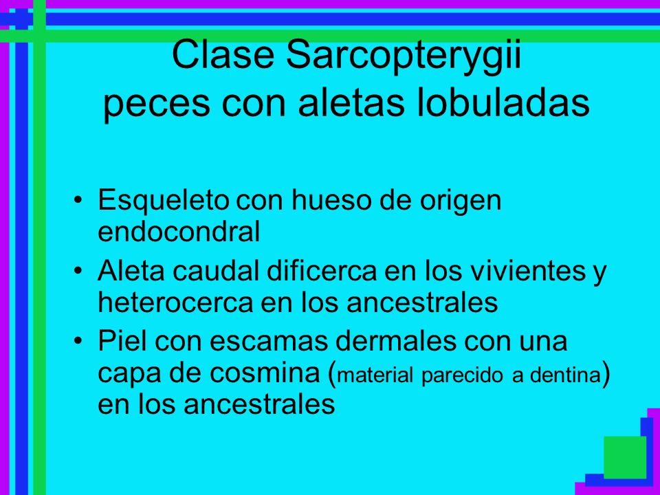 Clase Sarcopterygii peces con aletas lobuladas