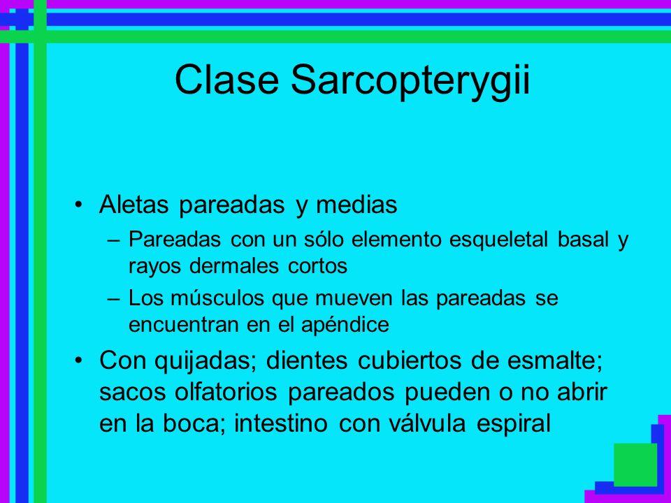 Clase Sarcopterygii Aletas pareadas y medias