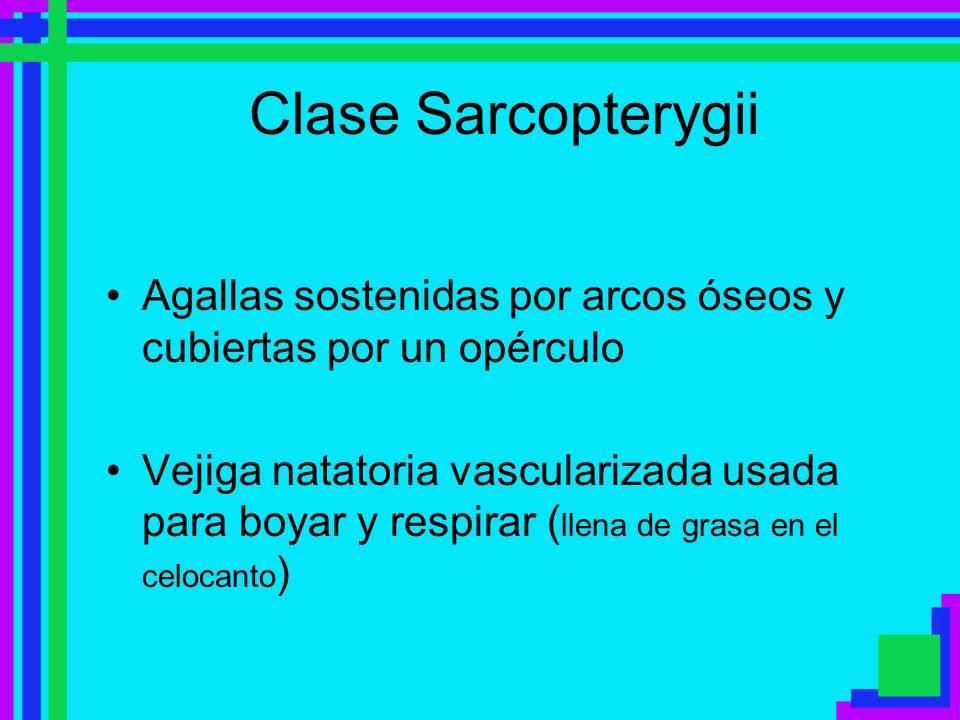 Clase Sarcopterygii Agallas sostenidas por arcos óseos y cubiertas por un opérculo.