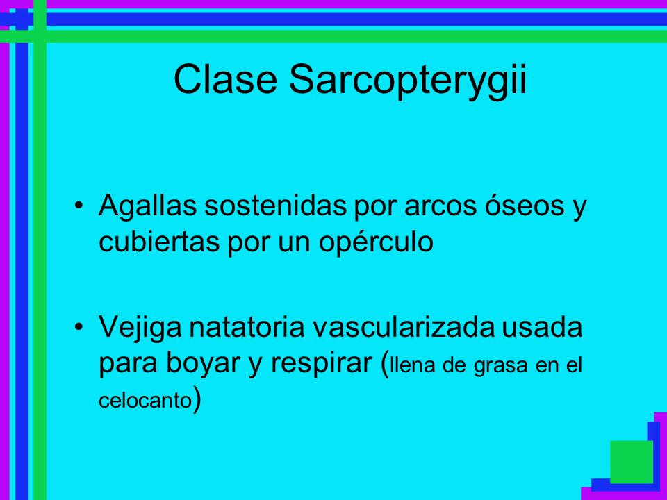 Clase SarcopterygiiAgallas sostenidas por arcos óseos y cubiertas por un opérculo.