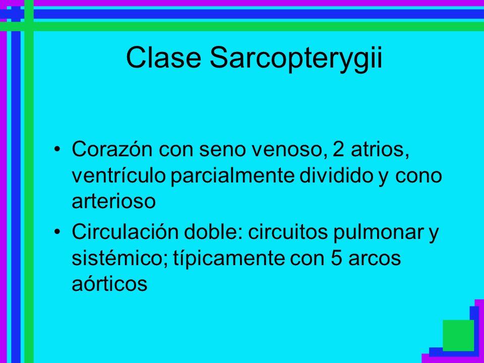 Clase SarcopterygiiCorazón con seno venoso, 2 atrios, ventrículo parcialmente dividido y cono arterioso.