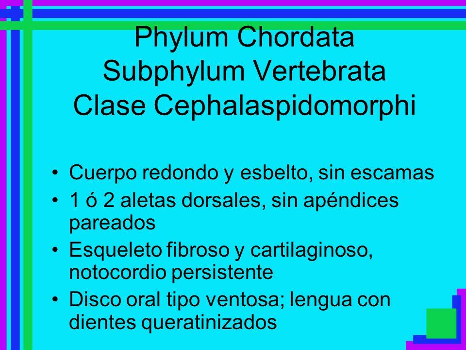 Phylum Chordata Subphylum Vertebrata Clase Cephalaspidomorphi