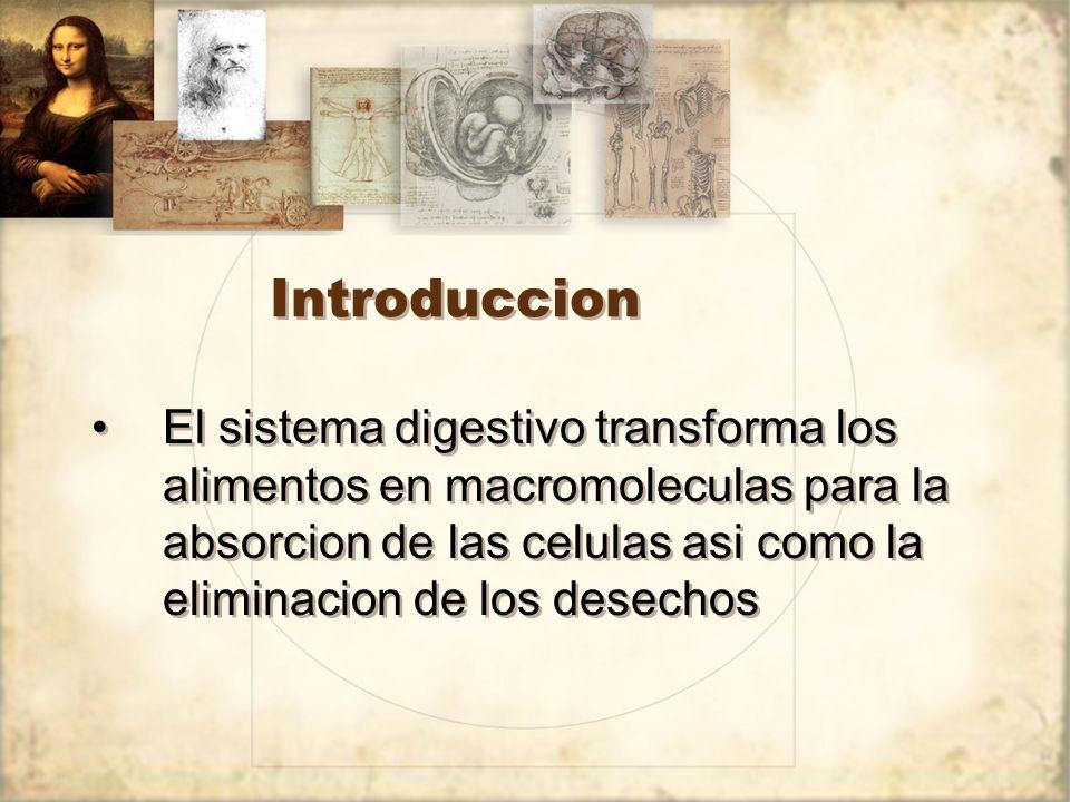 Introduccion El sistema digestivo transforma los alimentos en macromoleculas para la absorcion de las celulas asi como la eliminacion de los desechos.
