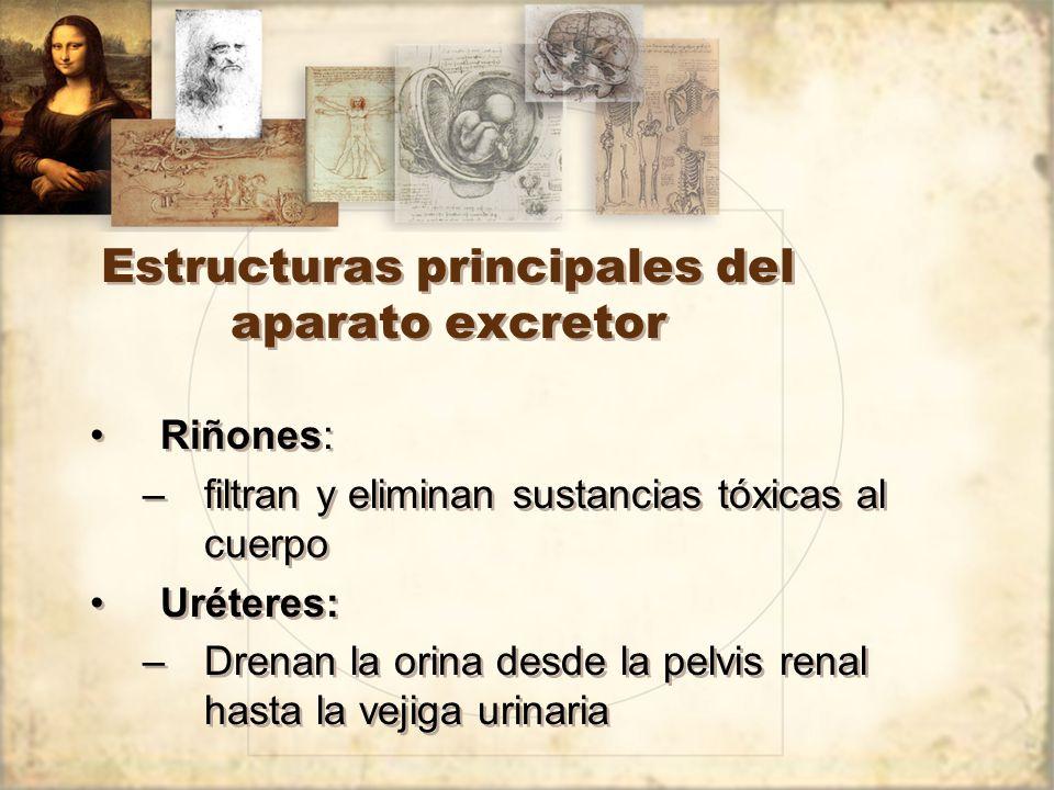 Estructuras principales del aparato excretor
