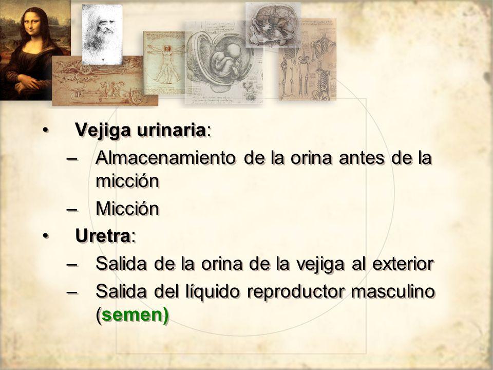 Vejiga urinaria: Almacenamiento de la orina antes de la micción. Micción. Uretra: Salida de la orina de la vejiga al exterior.