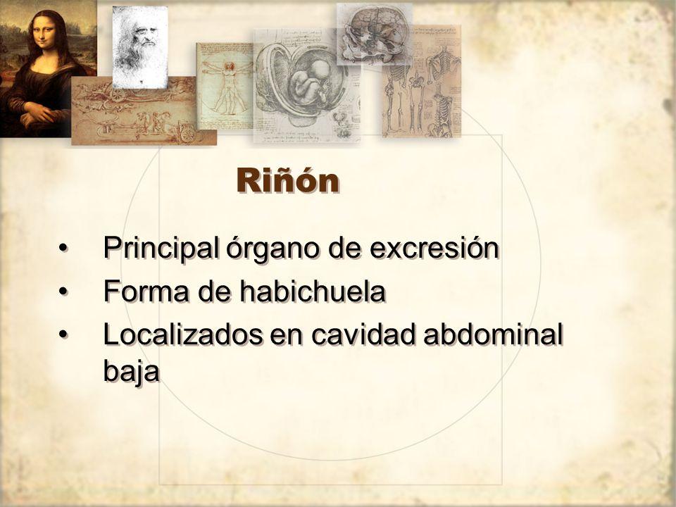 Riñón Principal órgano de excresión Forma de habichuela
