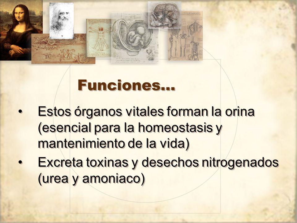 Funciones… Estos órganos vitales forman la orina (esencial para la homeostasis y mantenimiento de la vida)