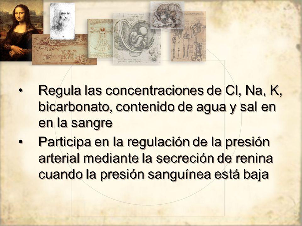 Regula las concentraciones de Cl, Na, K, bicarbonato, contenido de agua y sal en en la sangre