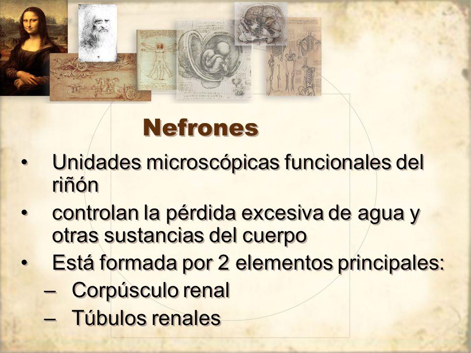 Nefrones Unidades microscópicas funcionales del riñón