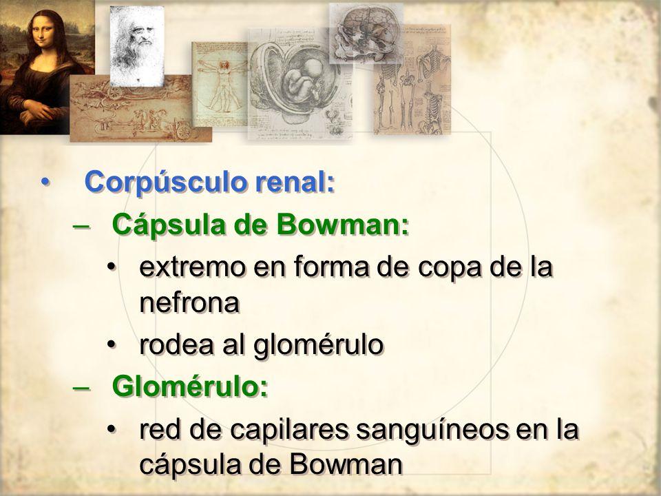 Corpúsculo renal: Cápsula de Bowman: extremo en forma de copa de la nefrona. rodea al glomérulo. Glomérulo: