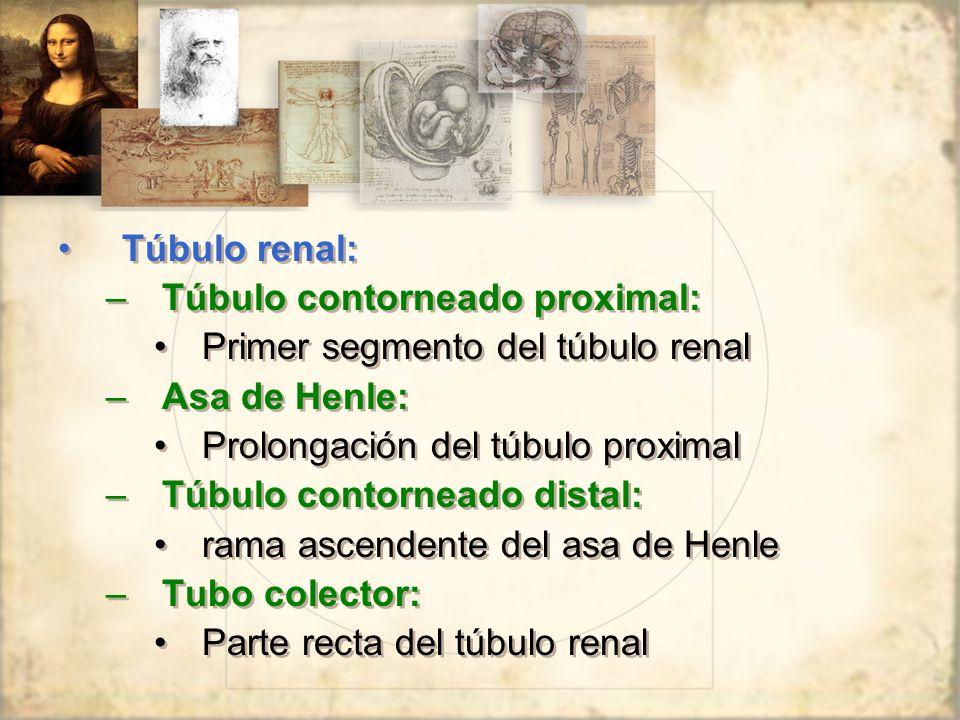 Túbulo renal: Túbulo contorneado proximal: Primer segmento del túbulo renal. Asa de Henle: Prolongación del túbulo proximal.