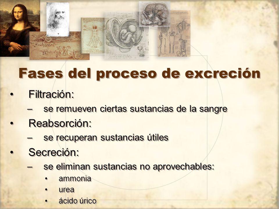 Fases del proceso de excreción