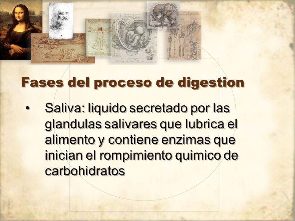 Fases del proceso de digestion
