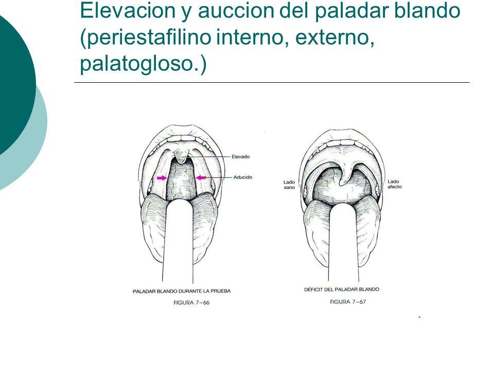 Elevacion y auccion del paladar blando (periestafilino interno, externo, palatogloso.)