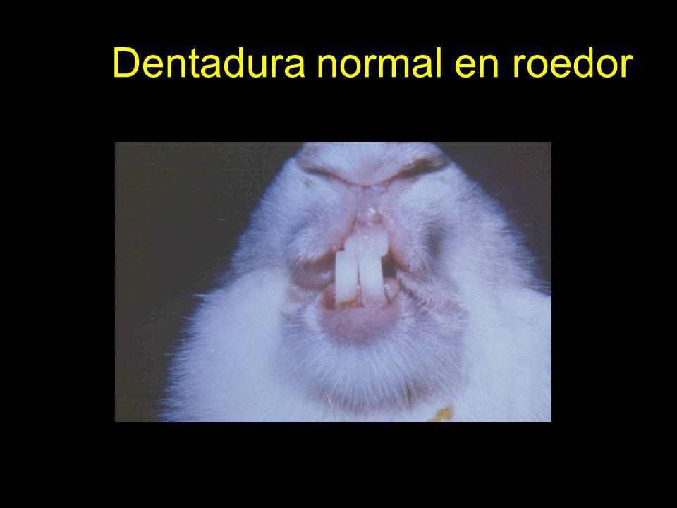Dentadura normal en roedor