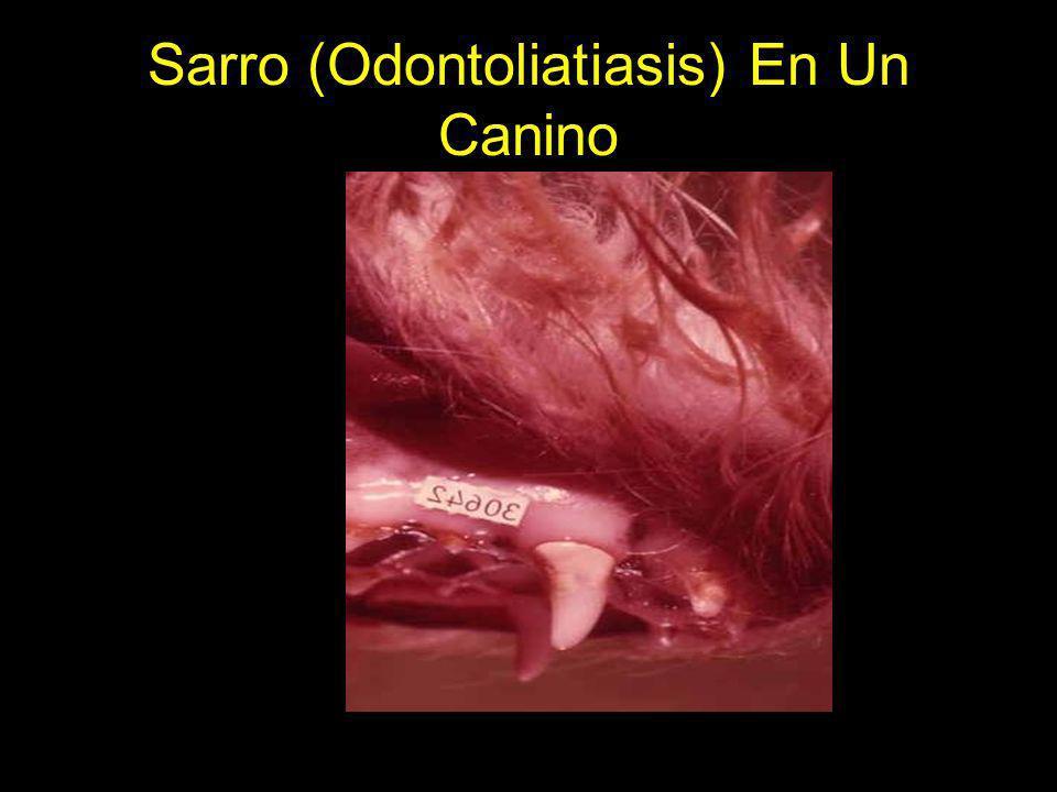 Sarro (Odontoliatiasis) En Un Canino