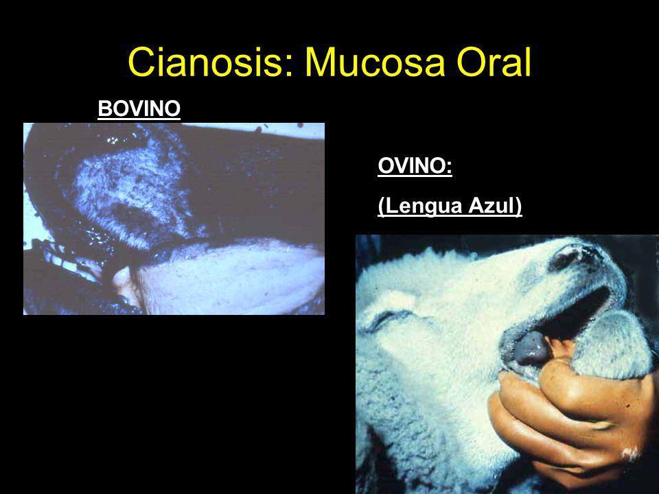 Cianosis: Mucosa Oral BOVINO OVINO: (Lengua Azul)
