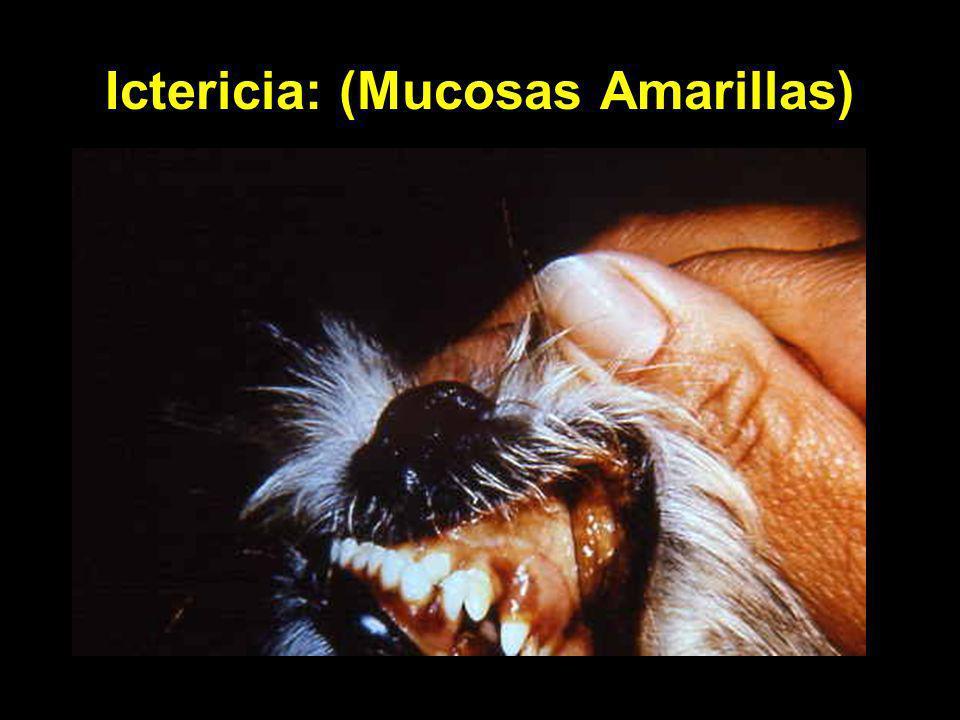 Ictericia: (Mucosas Amarillas)