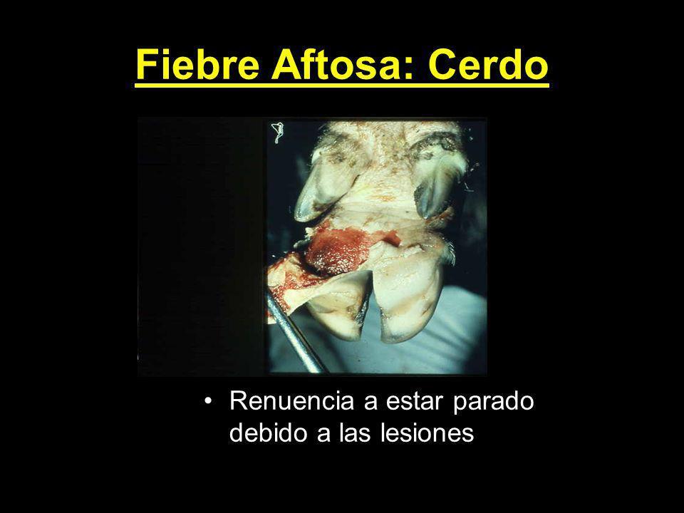 Fiebre Aftosa: Cerdo Renuencia a estar parado debido a las lesiones