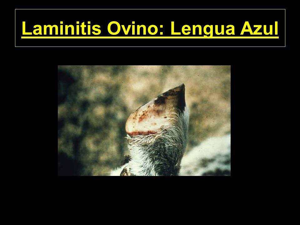 Laminitis Ovino: Lengua Azul