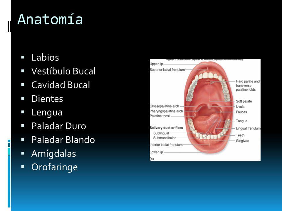 Anatomía Labios Vestíbulo Bucal Cavidad Bucal Dientes Lengua