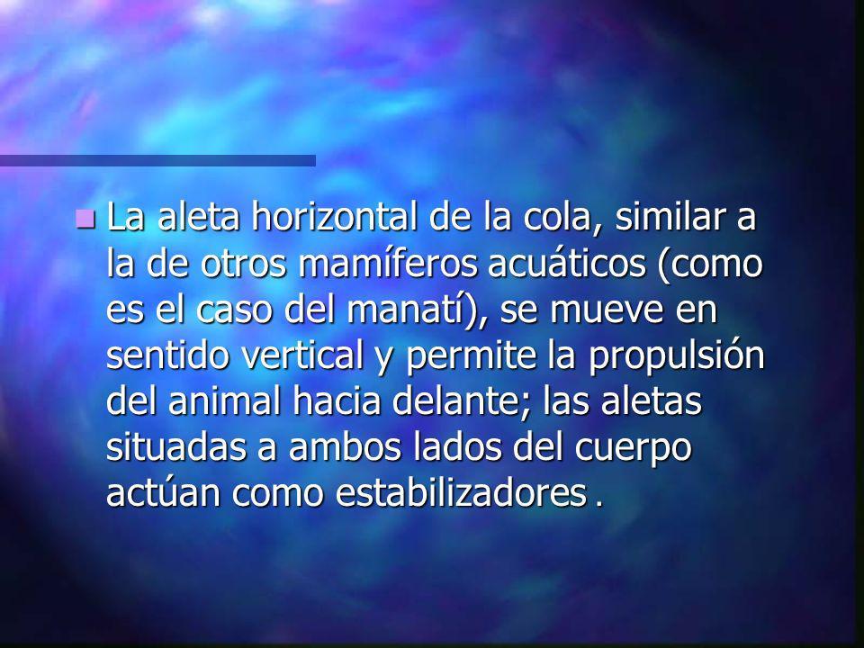 La aleta horizontal de la cola, similar a la de otros mamíferos acuáticos (como es el caso del manatí), se mueve en sentido vertical y permite la propulsión del animal hacia delante; las aletas situadas a ambos lados del cuerpo actúan como estabilizadores.