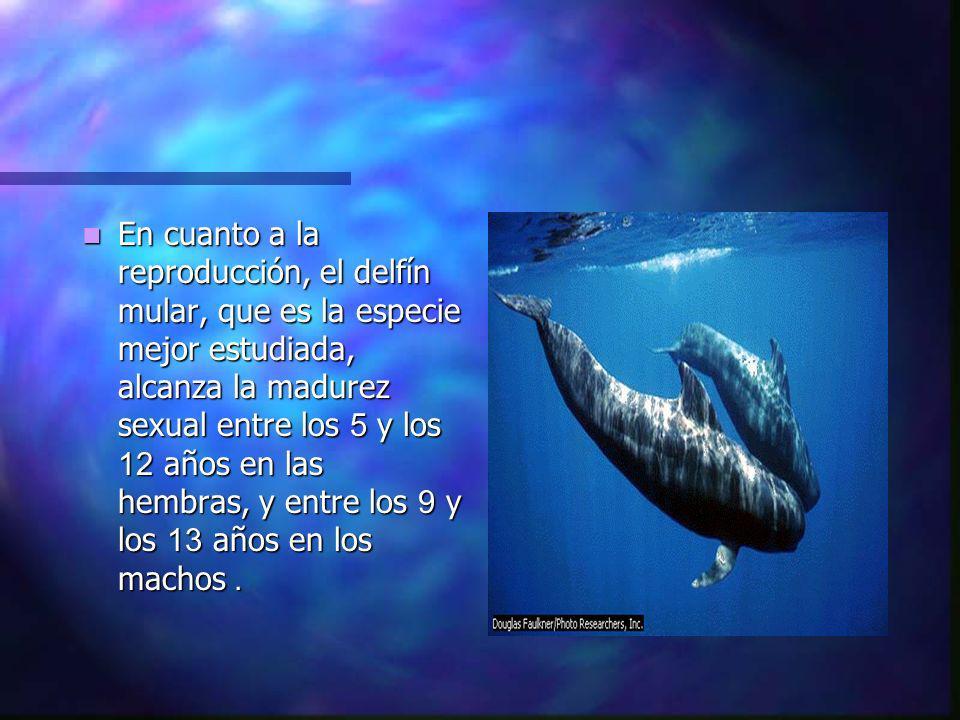 En cuanto a la reproducción, el delfín mular, que es la especie mejor estudiada, alcanza la madurez sexual entre los 5 y los 12 años en las hembras, y entre los 9 y los 13 años en los machos.