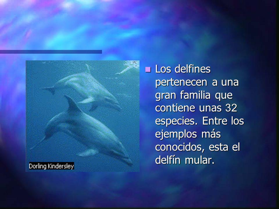 Los delfines pertenecen a una gran familia que contiene unas 32 especies.