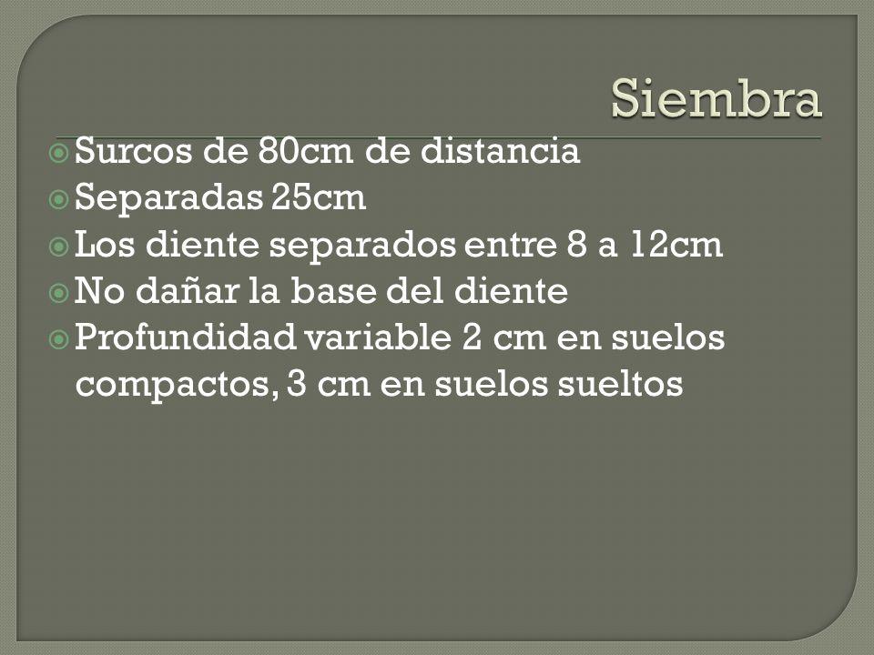 Siembra Surcos de 80cm de distancia Separadas 25cm