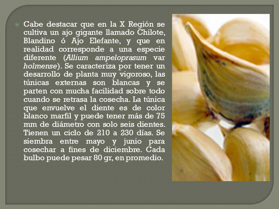 Cabe destacar que en la X Región se cultiva un ajo gigante llamado Chilote, Blandino ó Ajo Elefante, y que en realidad corresponde a una especie diferente (Allium ampeloprasum var holmense).