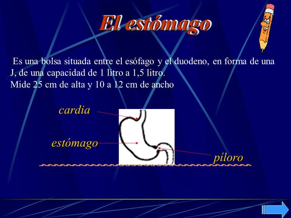 El estómago cardia estómago píloro