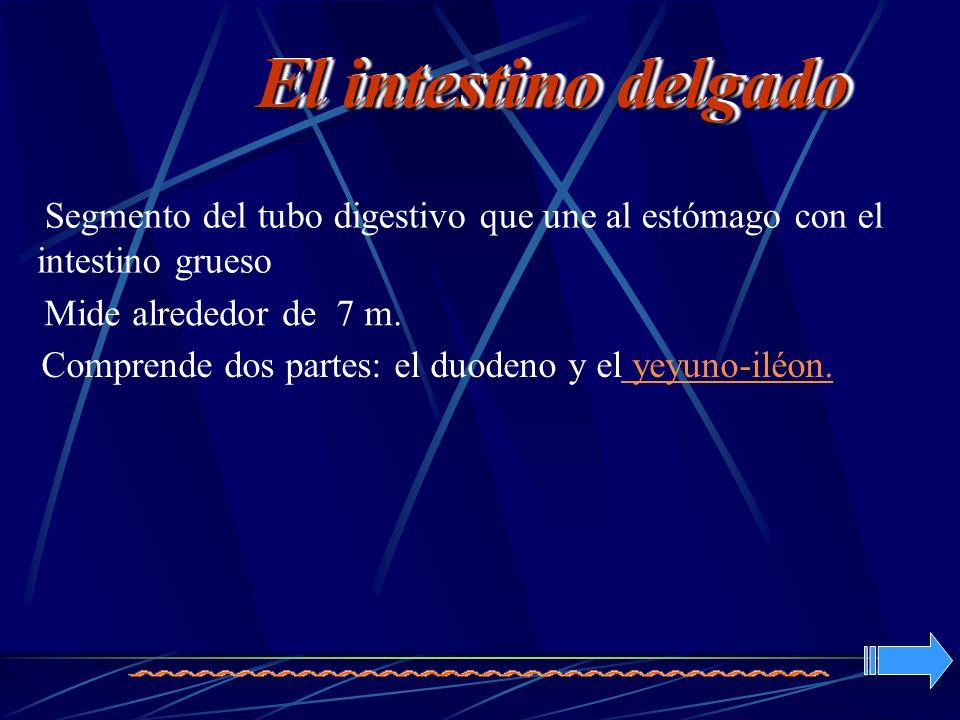 El intestino delgado Segmento del tubo digestivo que une al estómago con el intestino grueso. Mide alrededor de 7 m.