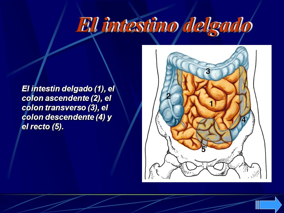 El intestino delgado El intestin delgado (1), el colon ascendente (2), el colon transverso (3), el colon descendente (4) y el recto (5).